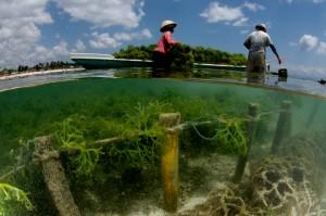 SeaweedFarmingLembongan