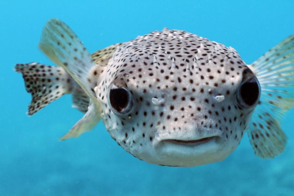 Pufferfish Nusa Lembongan