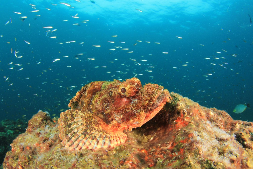Scorpionfish on the reef