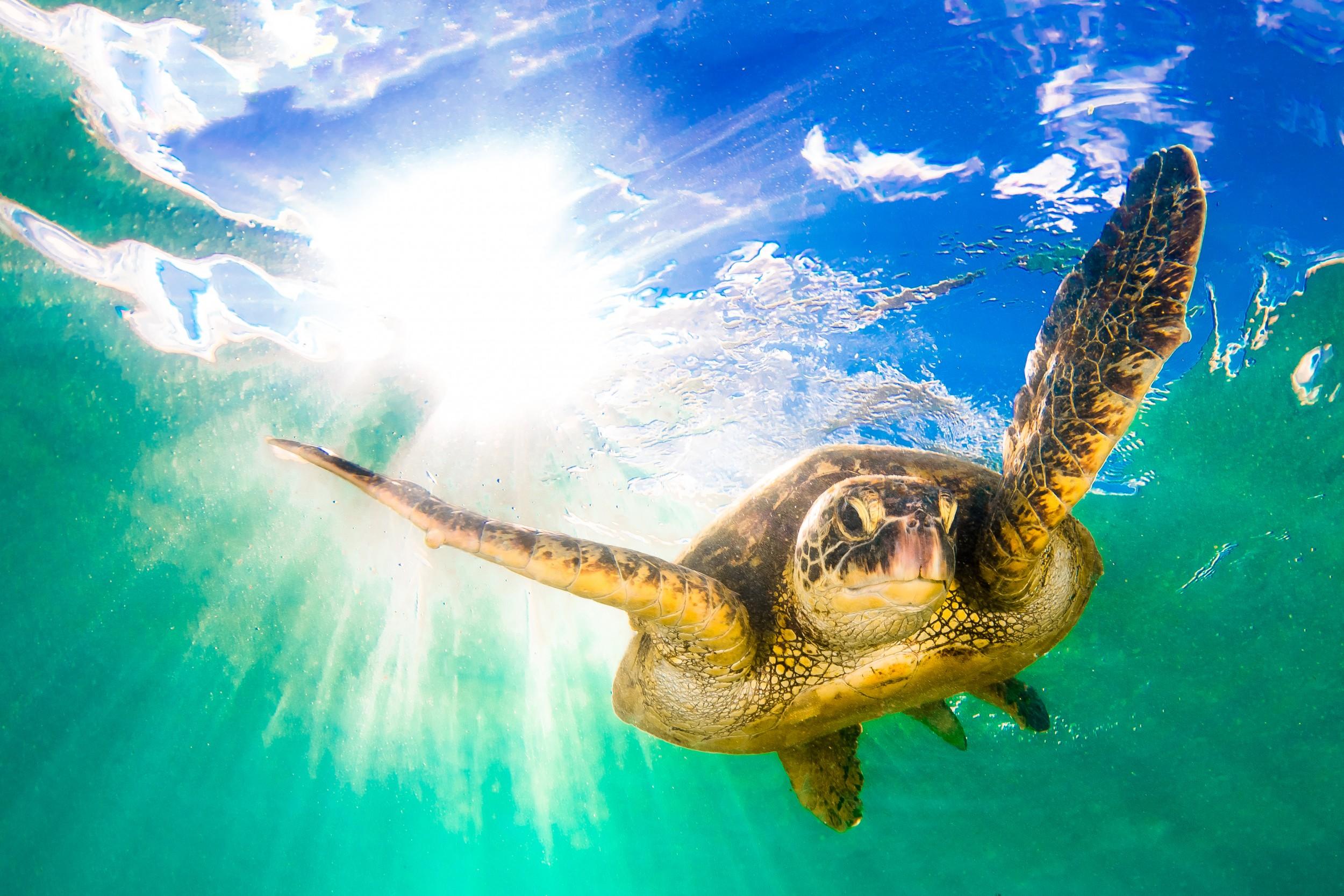Hawksbill turtle - Nusa Lembongan